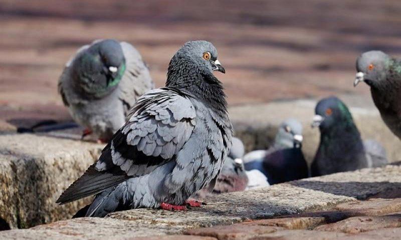Умират ли гълъби в София и защо, пита Фейсбук – Новините от bulnews